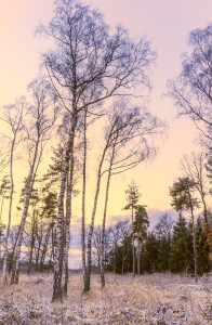 Birch Trees on frosty Morning